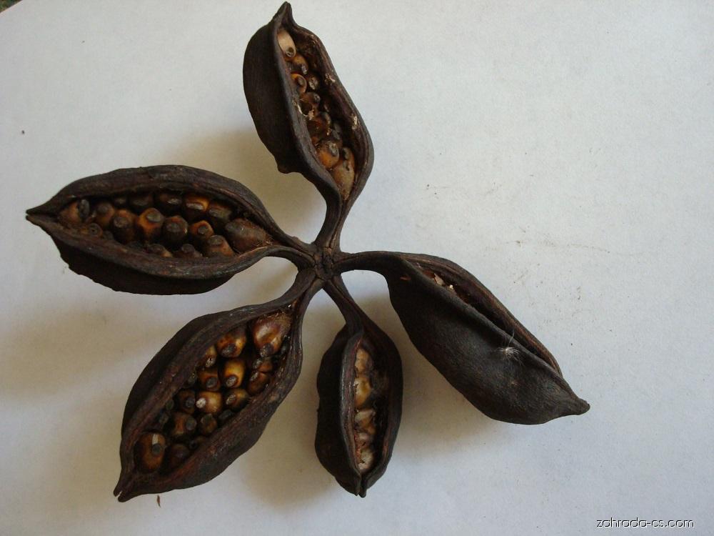 Brachychiton (Brachychiton populneus)