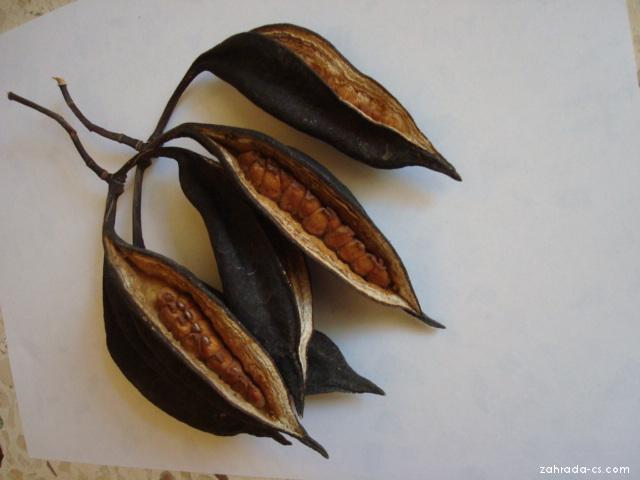 Brachychiton (Brachychiton acerifolium)