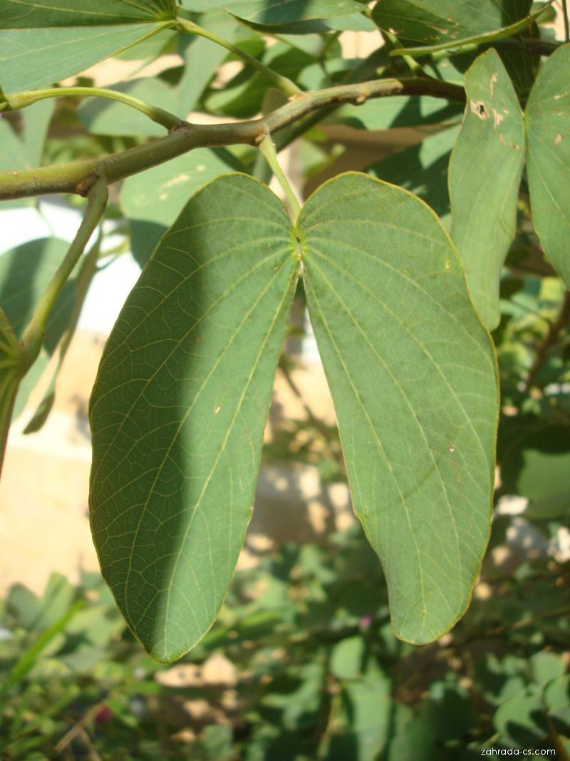 Bauhinie (Bauhinia purpurea)