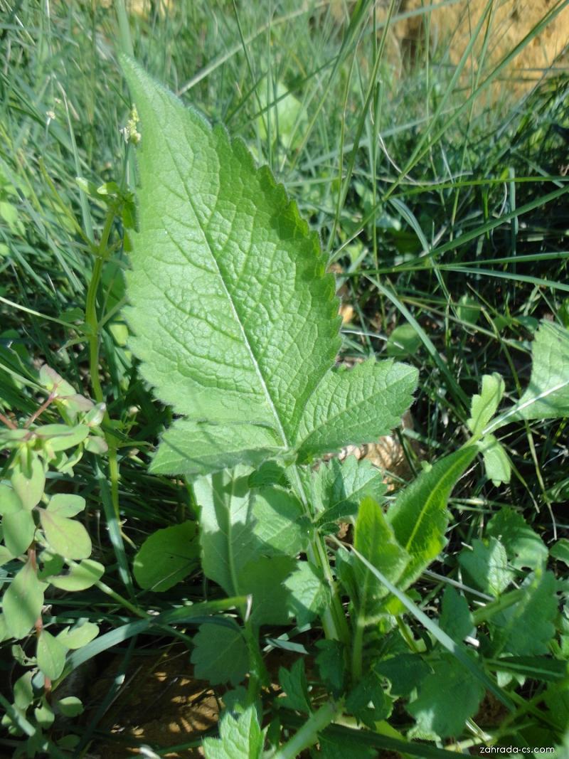 Cephalaria - list (Cephalaria joppensis)