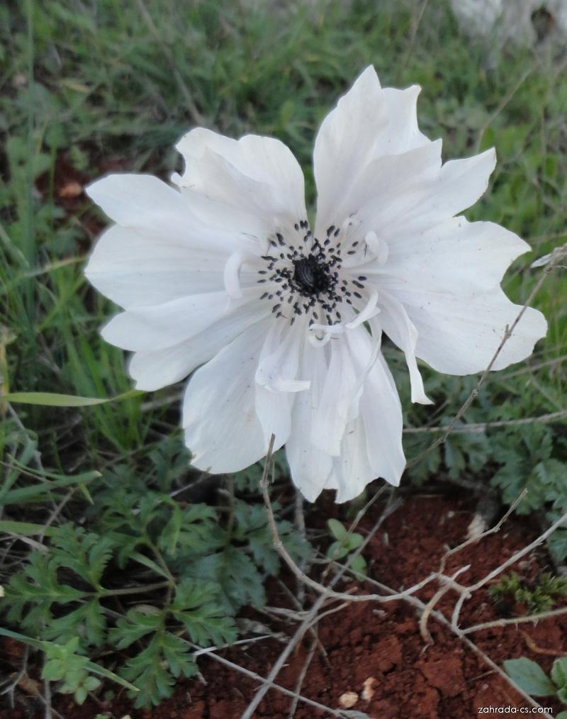 Sasanka věncová (Anemone coronaria)