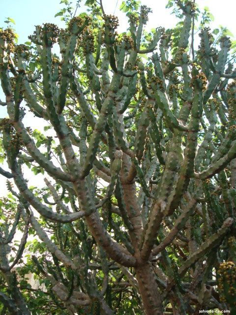 Pryšec (Euphorbia neriifolia)