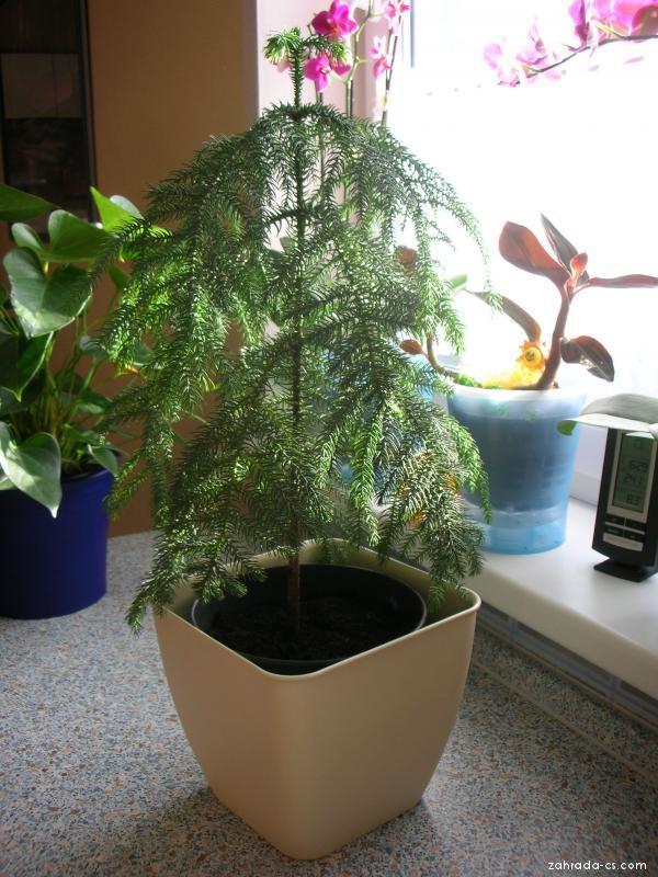 Blahočet,Araukárie (Araucaria heterophylla)