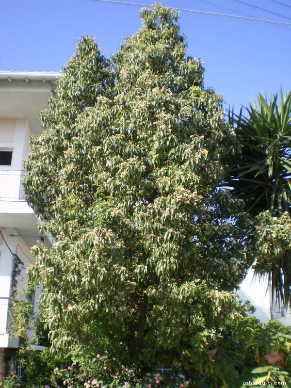 Brachychiton topolový - celkový pohled (Brachychiton populneus)