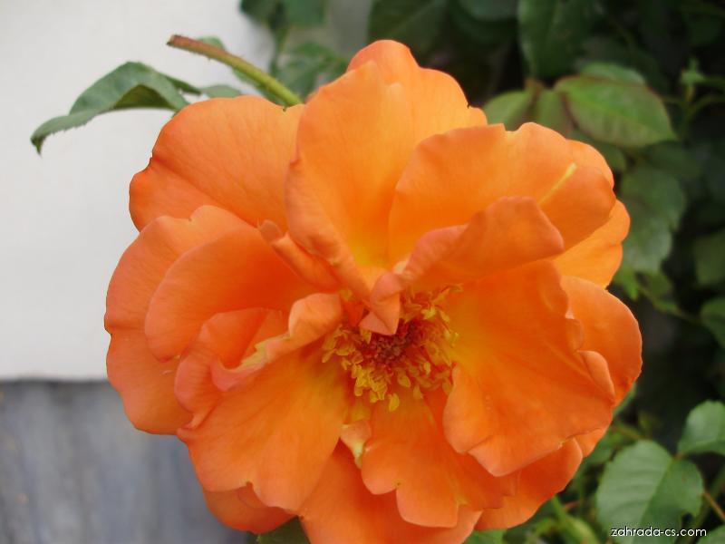 Květ růže (Rosa)