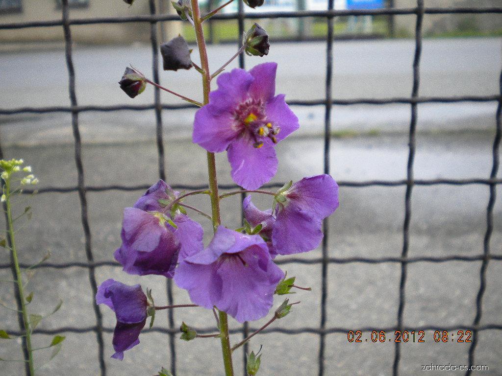 Divizna brunátná (Verbascum phoeniceum)