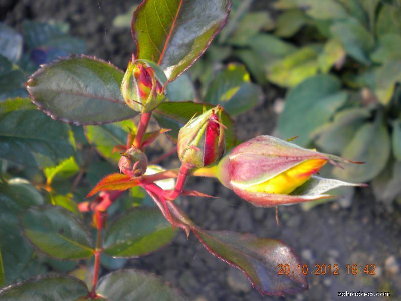 Růže Lichtkönigen Lucia (Rosa Lich)