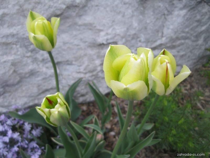 Tulipány viridiflora (Tulipa Viridiflora)