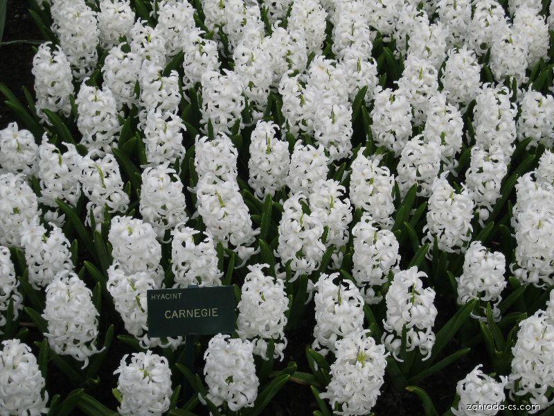Hyacint východní - Hyacinthus orientalis Carnegie