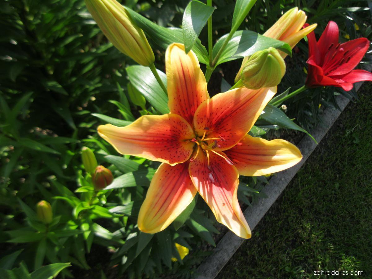 Lilie - Lilium x hybridum First Crown