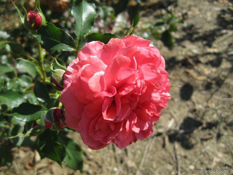 Růže Rosarium veterse (Rosa sp)