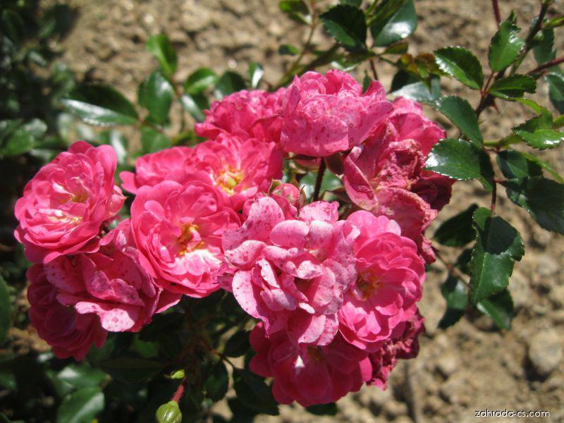 Růže Pink The Fairy (Rosa sp)