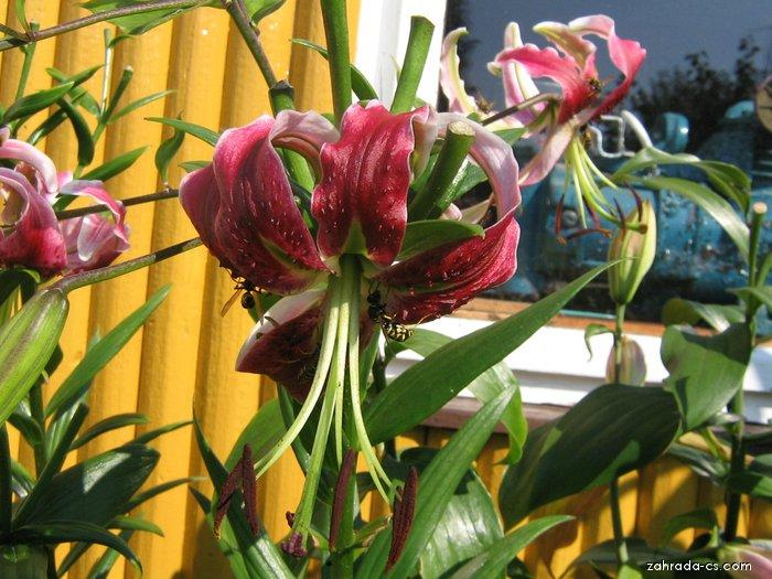 Lilie - Lilium x hybridum Black Beauty