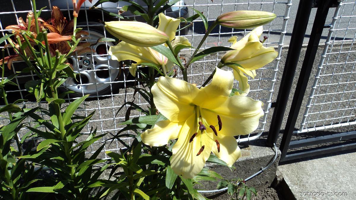 Lilie - Lilium x hybridum Belladona