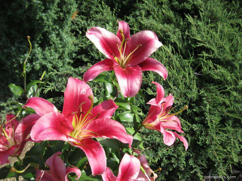Lilie - Lilium x hybridum Amarossi