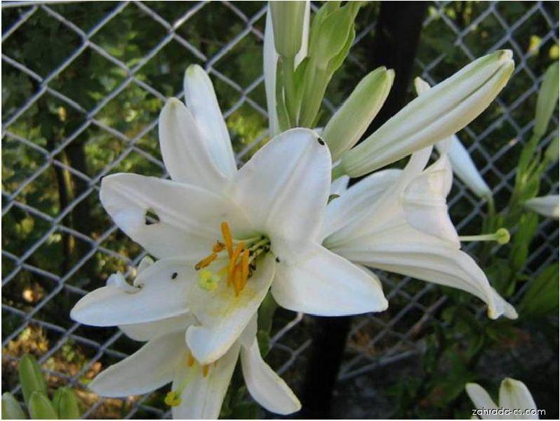 Lilie bělostná - Lilium candidum