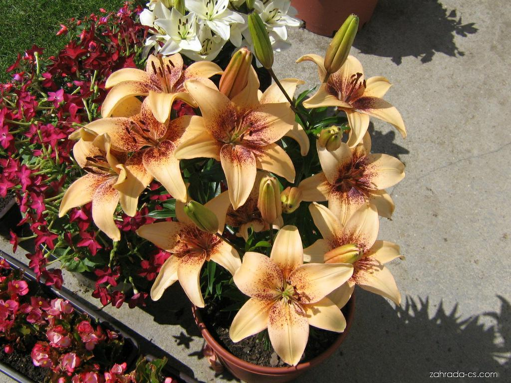Lilie - Lilium x hybridum 4 You