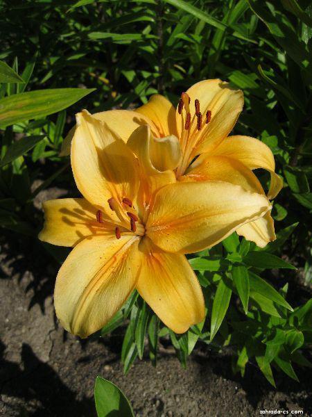 Lilie - Lilium x hybridum Buff Pixie