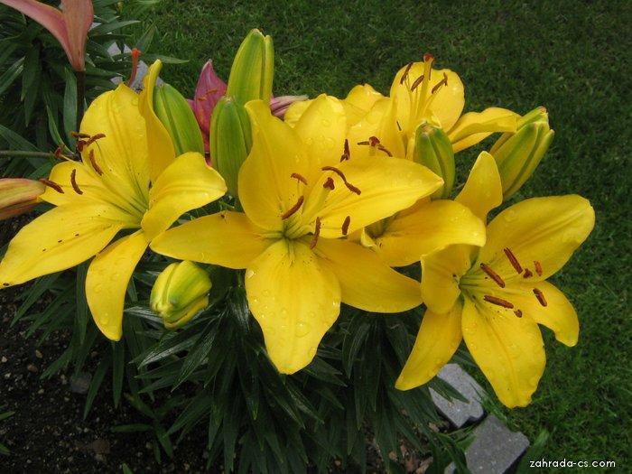 Lilie - Lilium x hybridum Butter Pixie