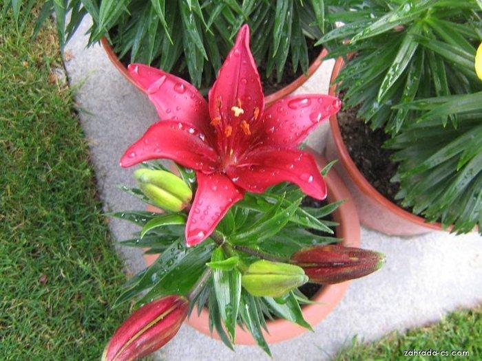 Lilie Tiny Ghost - Asijský nízký hybrid (Lilium x hybridum)