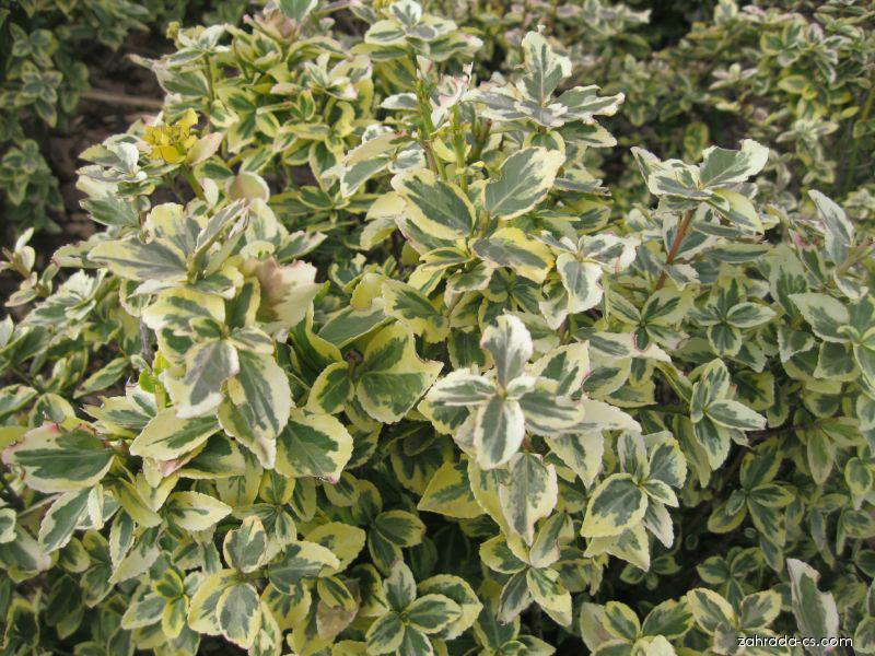 Brslen Fortuneův - Euonymus fortunei Emerald n Gold