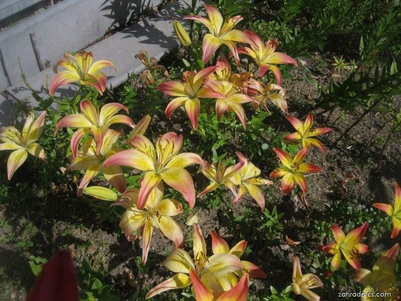 Lilie Oklahoma City - Asijský hybrid (Lilium x hybridum)
