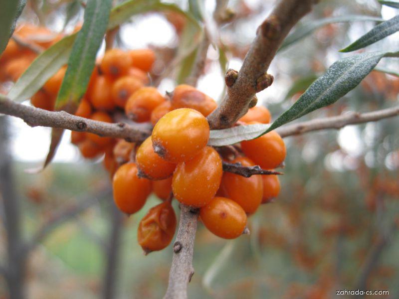 Rakytník řešetlákový (Hippophae rhamnoides)