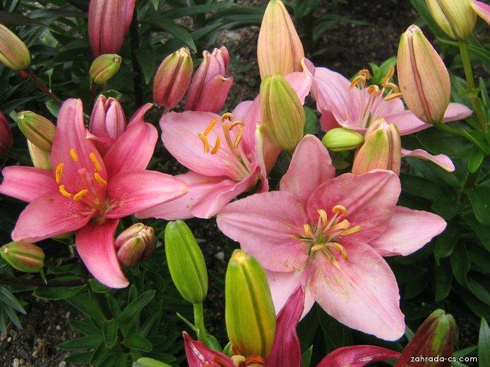 Lilie - Lilium x hybridum Algarve