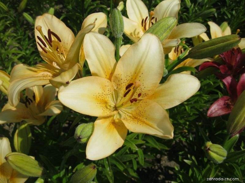 Lilie - Lilium x hybridum Ballroom