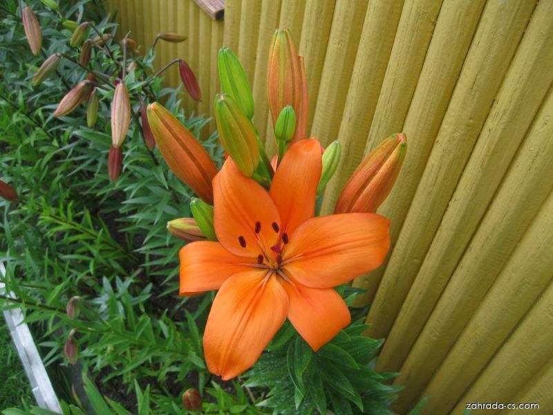 Lilie - Lilium x hybridum Cilesta
