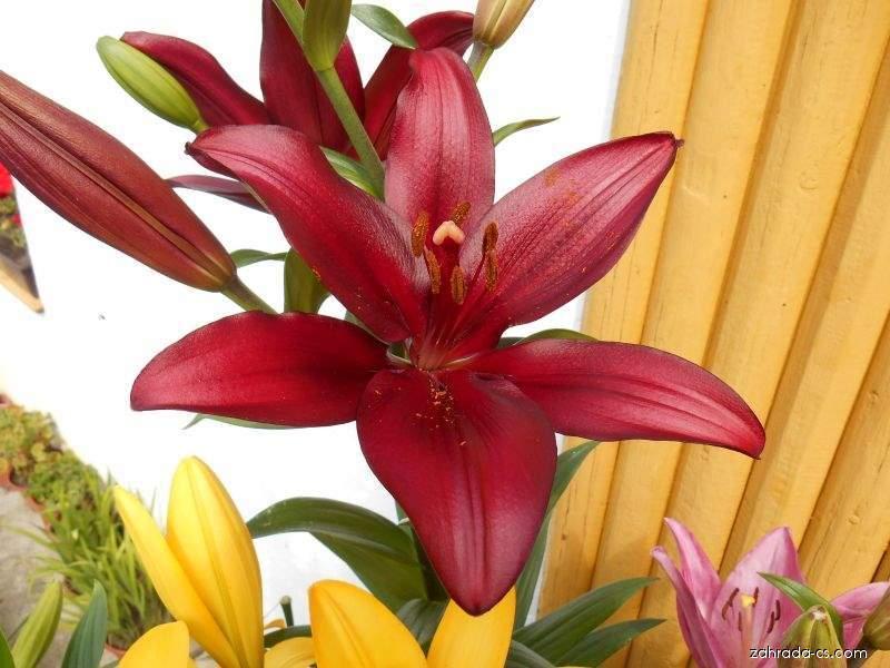 Lilie - Lilium x hybridum Constable