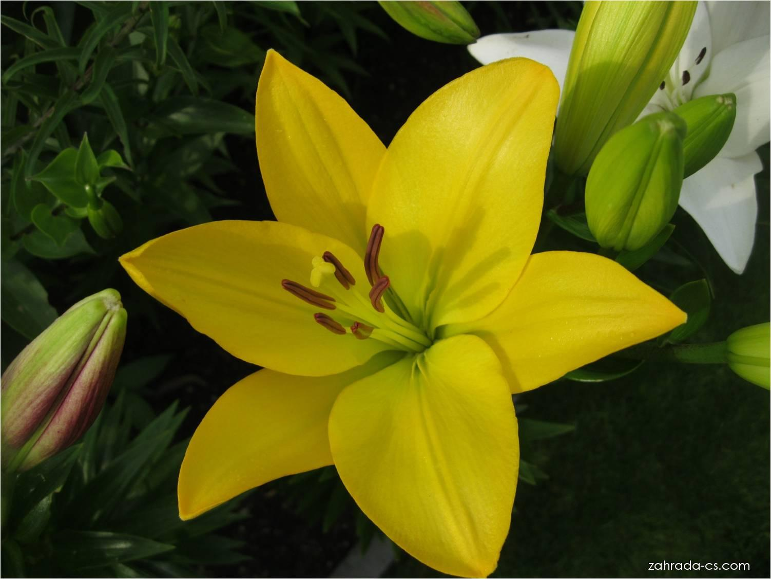 Lilie Golden Tycoon - LA hybridy (Lilium x hybridum)