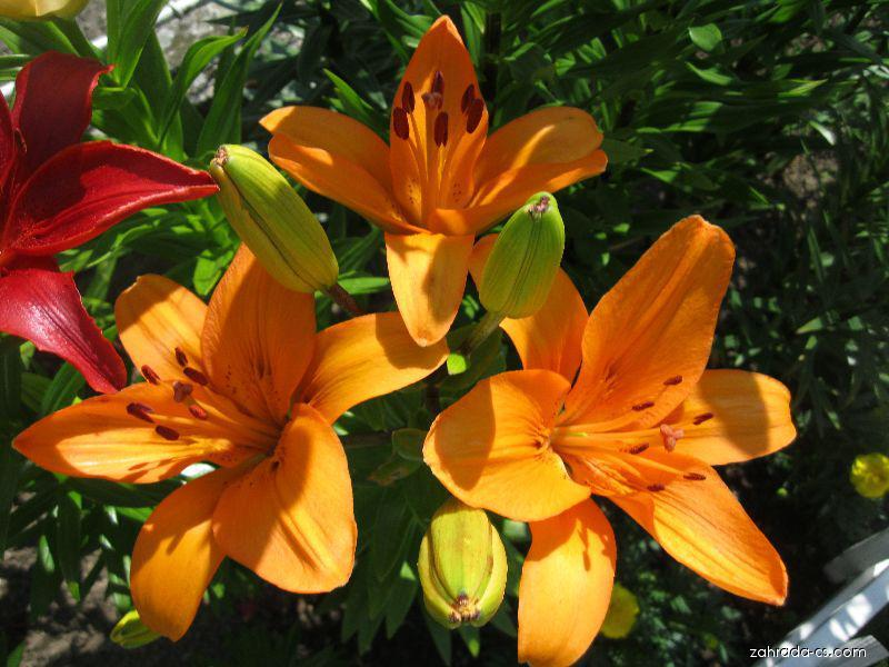 Lilie - Lilium x hybridum Nemo