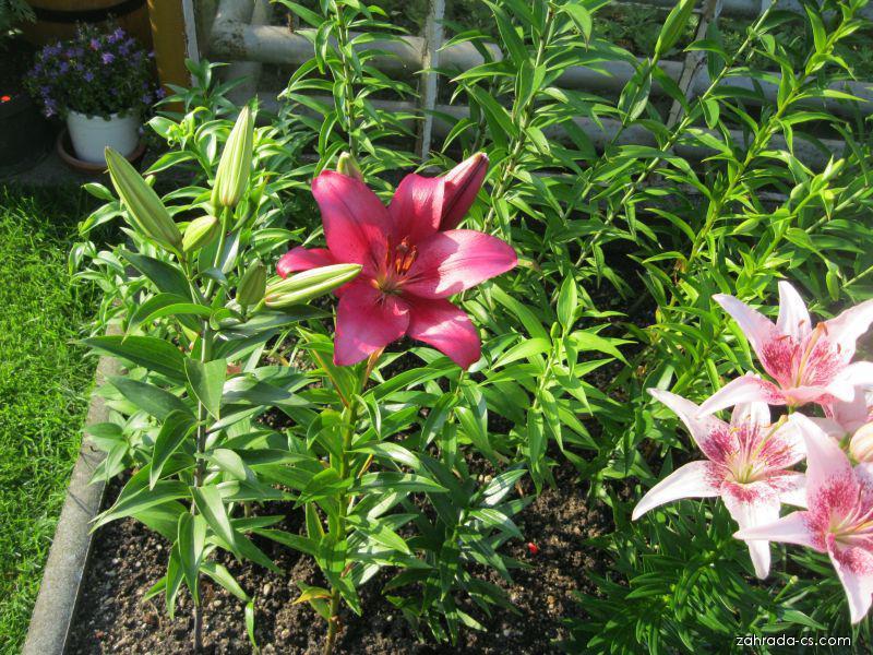 Lilie - Lilium x hybridum Opportunity