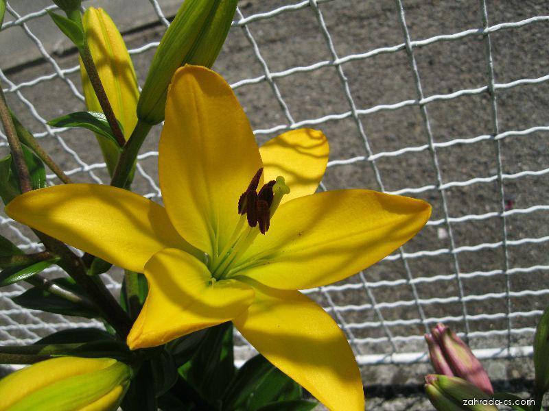 Lilie - Lilium x hybridum Pavia