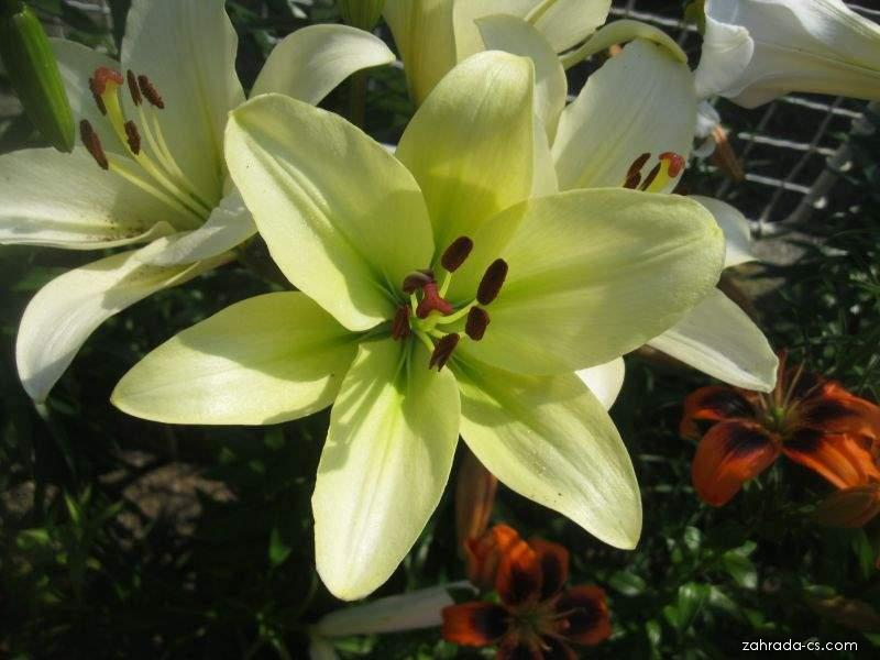 Lilie Trebbiano - LA hybridy (Lilium x hybridum)