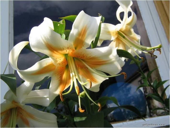 Lilie - Lilium x hybridum Aubade