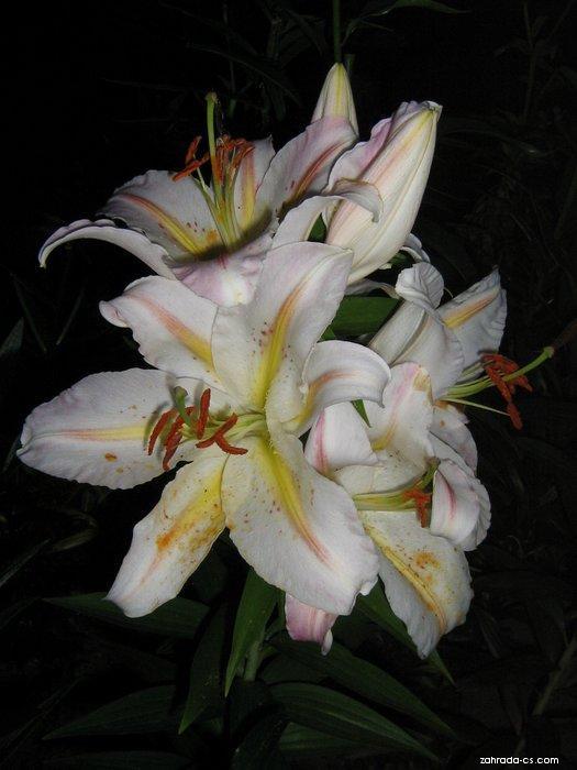 Lilie - Lilium x hybridum Bergamo