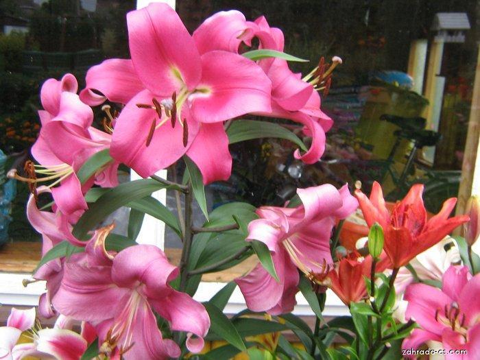 Lilie - Lilium x hybridum Bernini