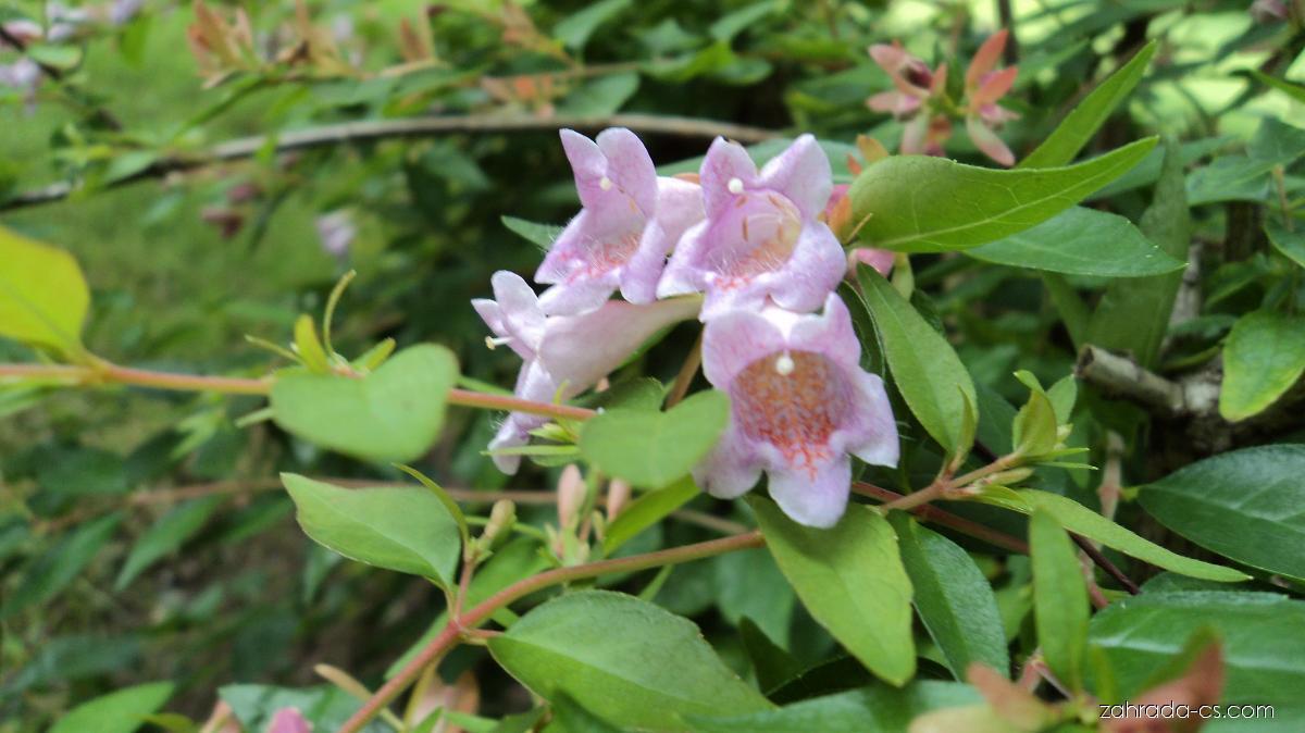 Abélie velkokvětá - Abelia x grandiflora
