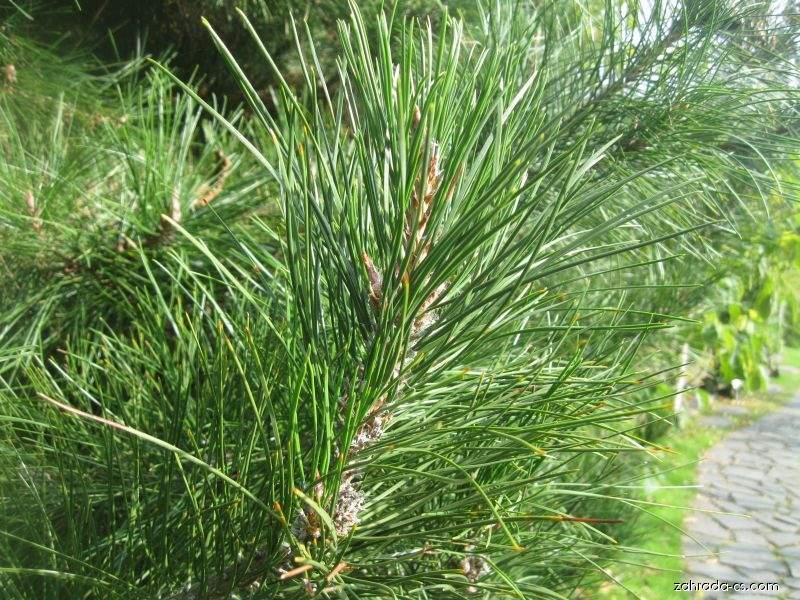 Borovice deskovitá (Pinus tabuliformis)