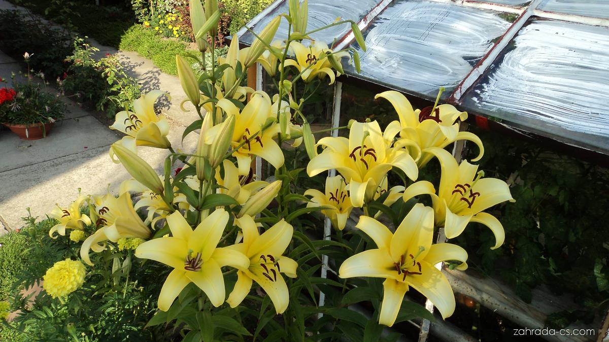 Lilie Yelloween - OT hybridy (Lilium x hybridum)