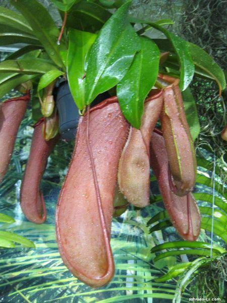 Láčkovka (Nepenthes)