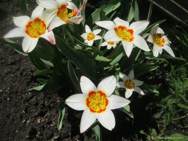 Tulipán Kaufmannův - Tulipa kaufmanniana Ancilla