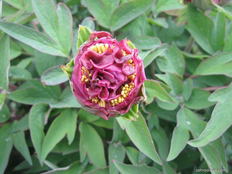 Pivoňka keřovitá (Paeonia suffruticosa)