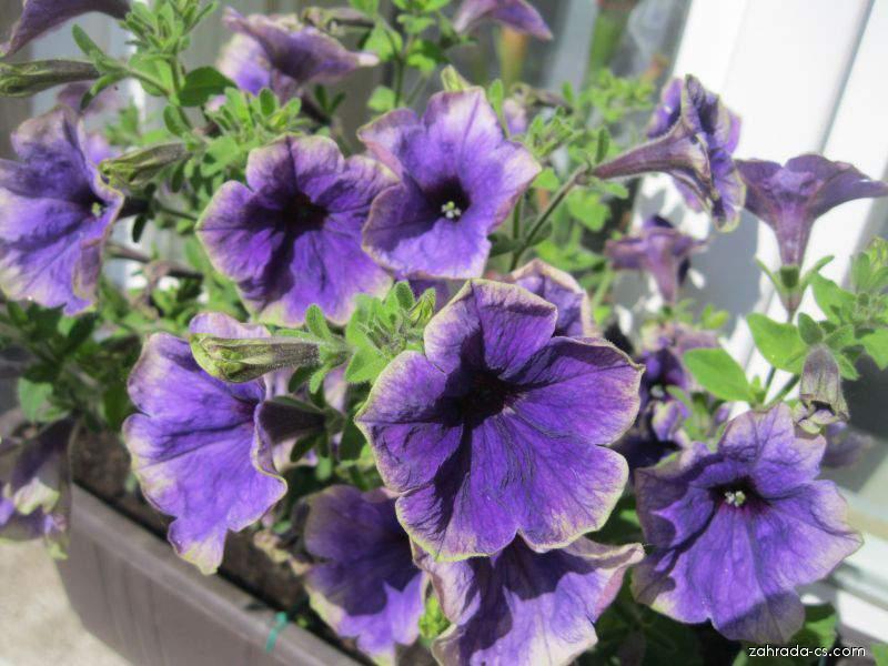 Petúnie - Petunia x hybrida Moonlight Sawaraba