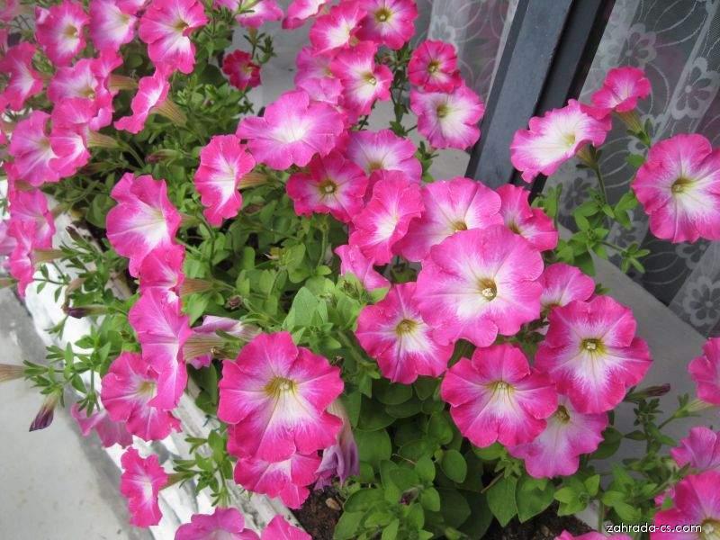 Petúnie - Petunia x hybrida Corona Rose Rim