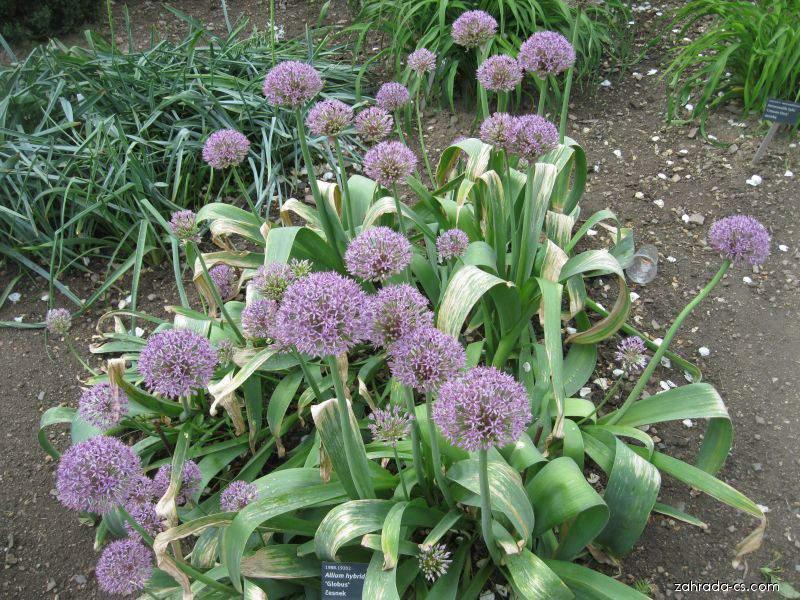 Česnek - Allium hybridum Globus