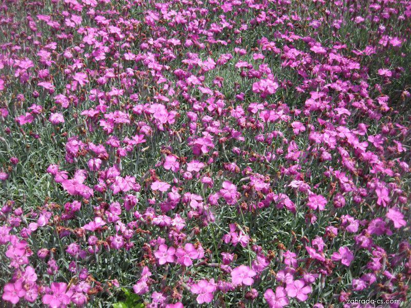Hvozdík sivý - Dianthus gratianopolitanus Babí Lom