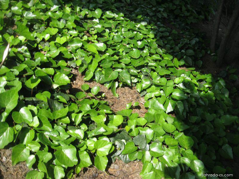 Břečťan kolchický (Hedera colchica)